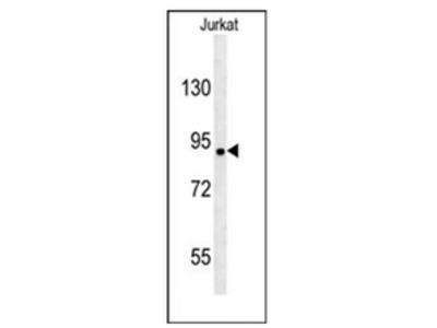 anti MGC48628 (C-term)