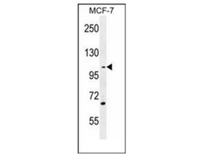 anti GAS2-like protein 2 (C-term)