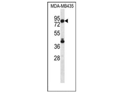 anti SGPL1 (N-term)