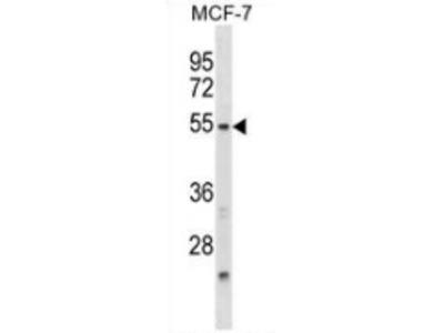 anti NFIL3 (N-term)