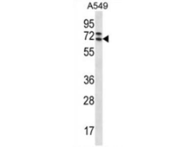 anti PIK3AP1 (C-term)