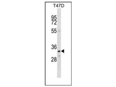 anti Olfactory receptor 4D11 (C-term)