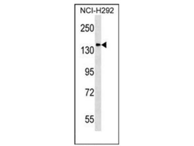anti DLGAP4 / SAPAP4 (N-term)