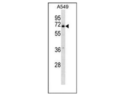 PLBD2 (Center) rabbit polyclonal antibody, Aff - Purified