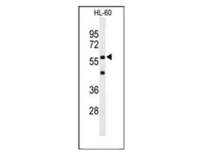 anti CD132 / IL2RG (N-term)
