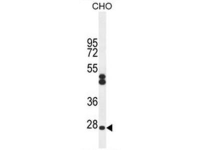 anti CF062 (Center)