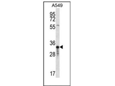 anti OR4F5 (N-term)