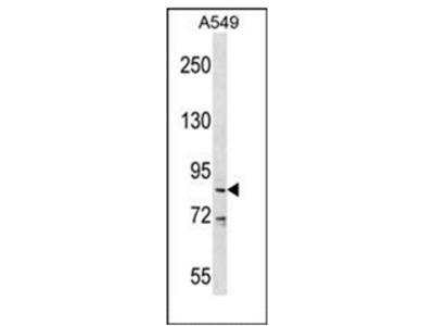 anti DDX53 (C-term)