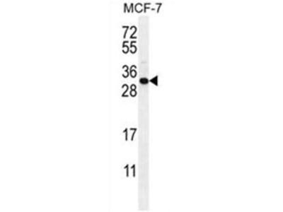 C1QL4 (N-term) rabbit polyclonal antibody, Aff - Purified