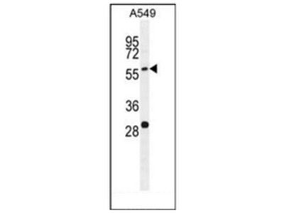 PALM3 (C-term) rabbit polyclonal antibody, Aff - Purified