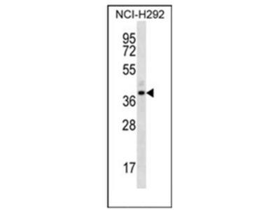 anti Olfactory receptor 5I1 (C-term)