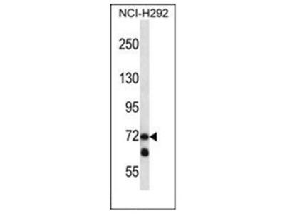 anti LOXL3 (C-term)