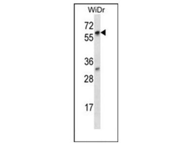 anti LARP7 (C-term)