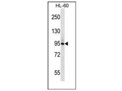 anti PLCD1 (N-term)