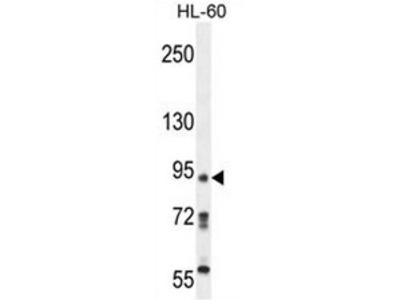 anti KRI1 (N-term)