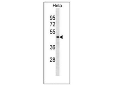 anti DRG1 / NEDD3 (C-term)