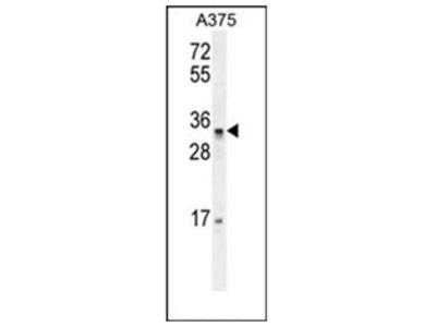 anti PUSL1 (C-term)