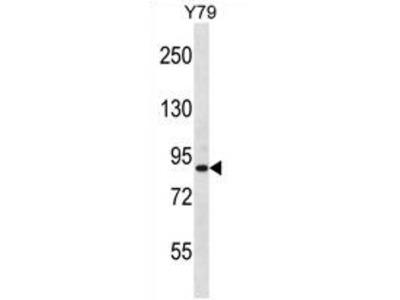 anti THOC1 (C-term)