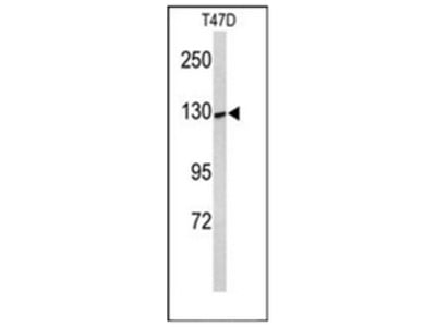 anti KCNH7 (N-term)