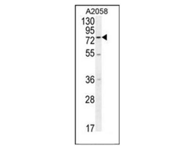 anti ENTHD1 (N-term)
