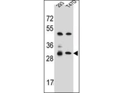 anti Olfactory receptor 4P4 (C-term)
