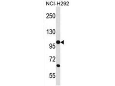 anti PCDHB12 (C-term)