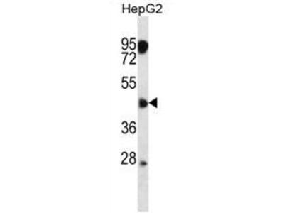 ASAM (CLMP) (Center) rabbit polyclonal antibody, Aff - Purified