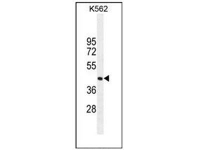 anti SIGLEC15 / CD33L3 (C-term)