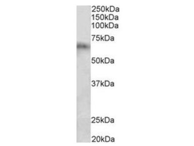 anti Cytochrome P450 2D10