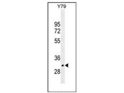 anti LRRC46 (N-term)