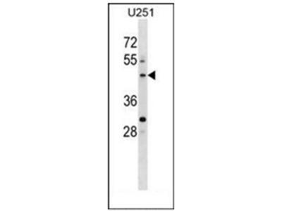 anti PLEKHO2 (N-term)
