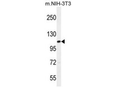 anti TAF1 (C-term)