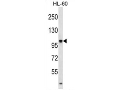 anti TTLL4 (464-493)