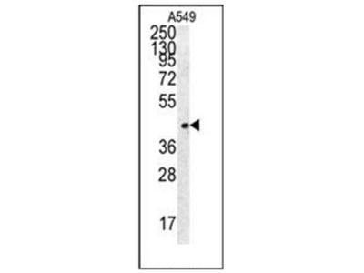 anti Follistatin-related protein 1 (C-term)