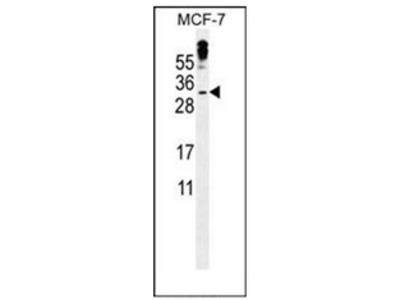 anti MBD3L3 (C-term)