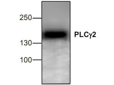 PLC gamma 2 Antibody