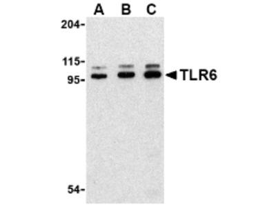 RABBIT ANTI HUMAN CD286