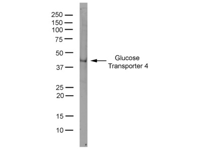 MOUSE ANTI GLUCOSE TRANSPORTER 4