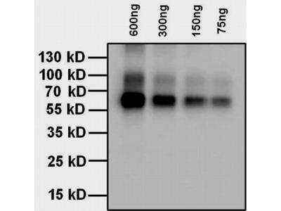 L-Thyroxine T4 Antibody