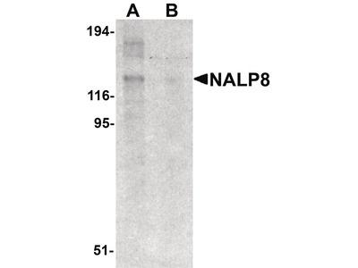 NALP8 Polyclonal Antibody