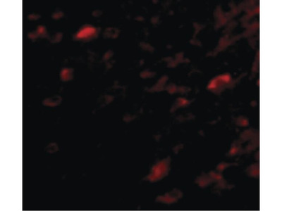 NIPSNAP3A Polyclonal Antibody