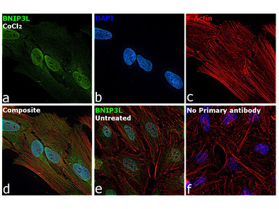 BNIP3L Polyclonal Antibody