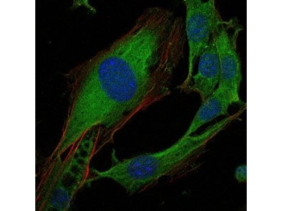 Crk Monoclonal Antibody (3G11C1)
