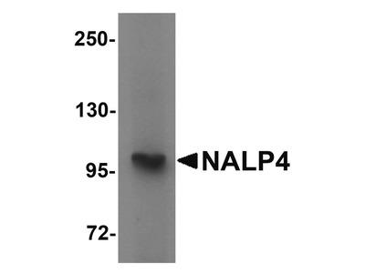 NALP4 Polyclonal Antibody