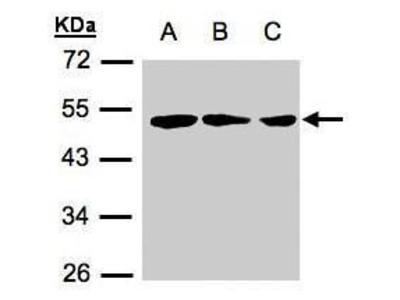 ZMYND10 Polyclonal Antibody