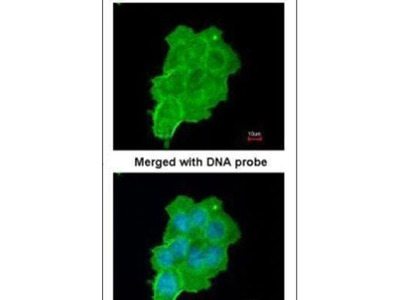 UFD1L Polyclonal Antibody