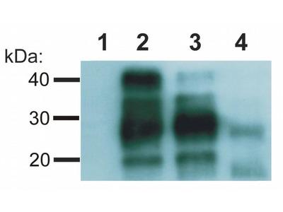 PrP Monoclonal Antibody (EM-20)