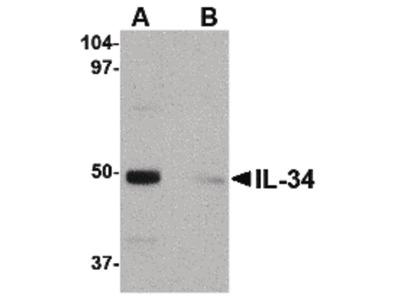 IL-34 Polyclonal Antibody