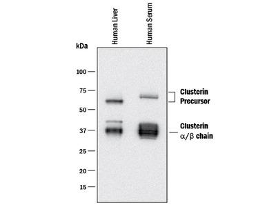 Clusterin Isoform 1 Antibody