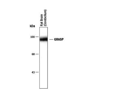 GRASP1 Antibody